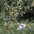 埋もれて休むハシビロコウ