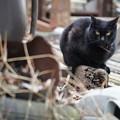 黒猫ジロリ