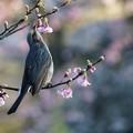 河津桜とヒヨドリ1