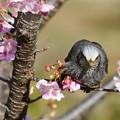 河津桜とヒヨドリ2
