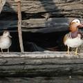 Photos: 東京湾の運河のオシドリ