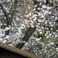 桜とアオサギ
