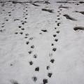 写真: 水鳥の足跡?