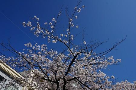 2018年3月28日撮影 西公園 桜 福岡 さくら満開 写真画像 (4)
