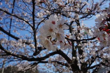 2018年3月28日撮影 西公園 桜 福岡 さくら満開 写真画像 (6)