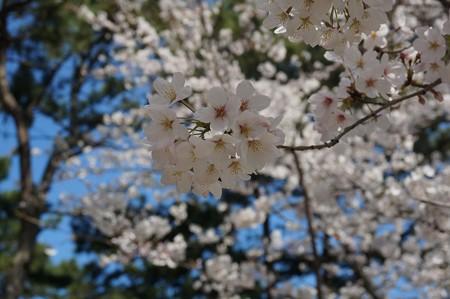 2018年3月28日撮影 西公園 桜 福岡 さくら満開 写真画像 (42)
