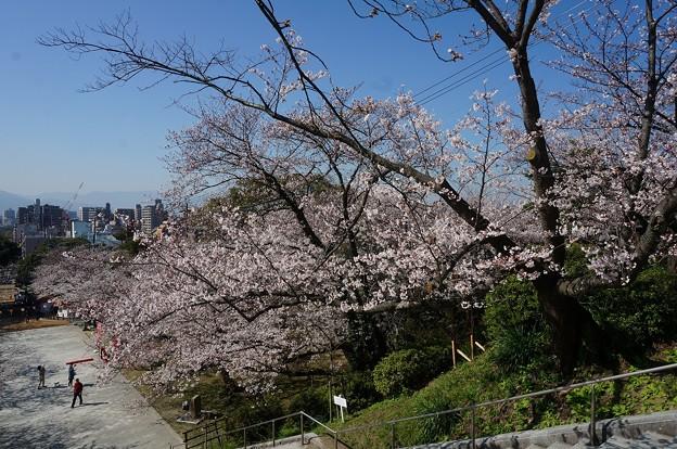 2018年3月28日撮影 西公園 桜 福岡 さくら満開 写真画像 (75)