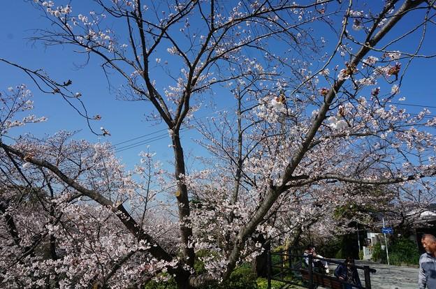 2018年3月28日撮影 西公園 桜 福岡 さくら満開 写真画像 (76)