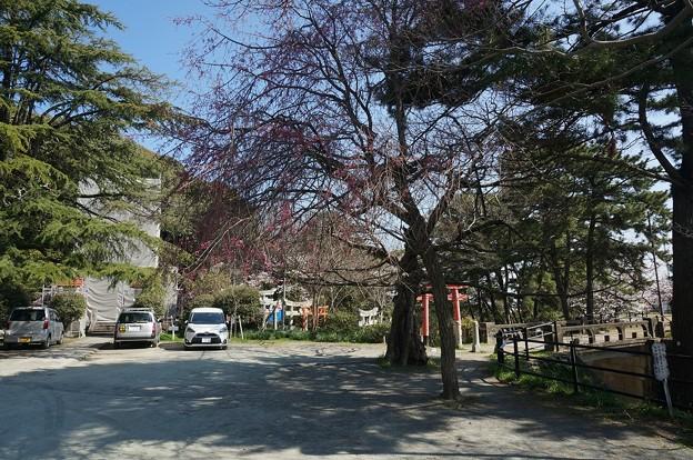 2018年3月28日撮影 西公園 桜 福岡 さくら満開 写真画像 (77)