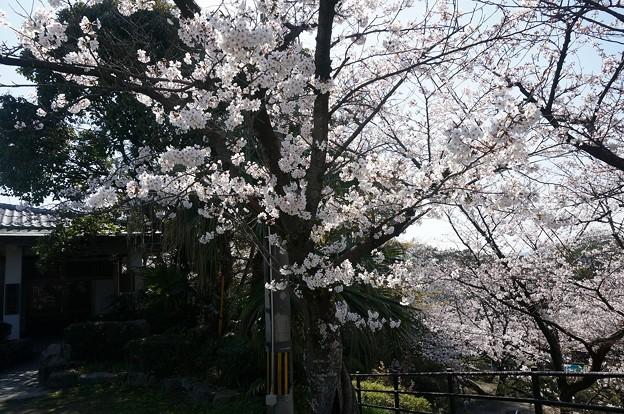 2018年3月28日撮影 西公園 桜 福岡 さくら満開 写真画像 (87)