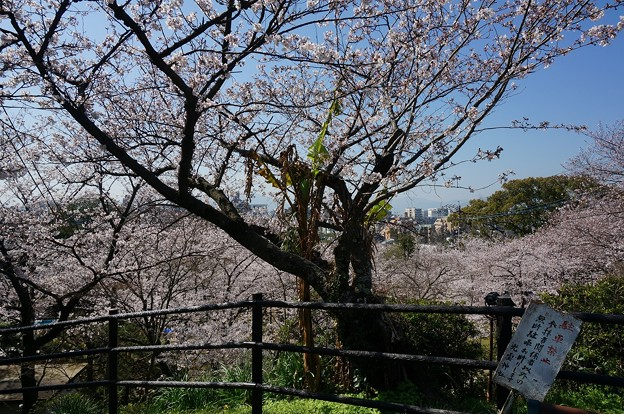 2018年3月28日撮影 西公園 桜 福岡 さくら満開 写真画像 (88)