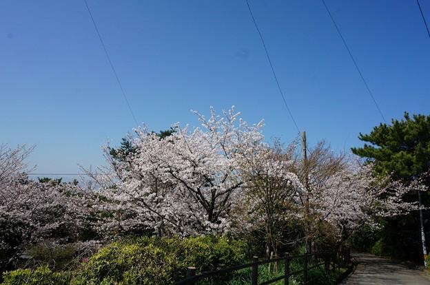 2018年3月28日撮影 西公園 桜 福岡 さくら満開 写真画像 (92)