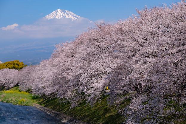 潤井川(龍巌淵)の桜