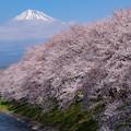 Photos: 潤井川(龍巌淵)の桜