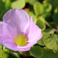 薄紫のオキザリス