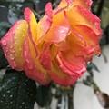 雨に濡れる薔薇の花