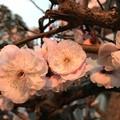 写真: 朝日に染まる八重梅