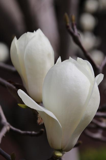 写真: 白い木蓮