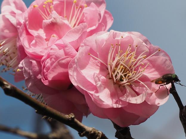 八重のピンクの梅