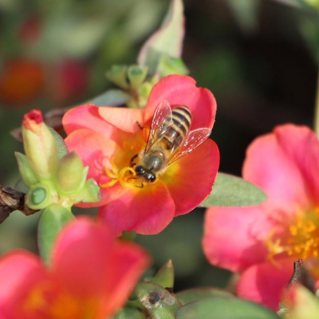 ポーチュラカに蜜蜂