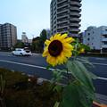 写真: 風になびく向日葵