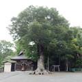 写真: 相模八幡宮ケヤキ