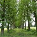 61 メタセコイア並木