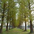 写真: 61 メタセコイア並木