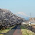 浅川の桜と富士山