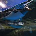 写真: ペンギン