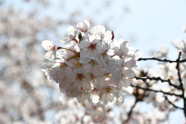 九段下の近くの桜
