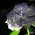 Shade ~紫陽花~