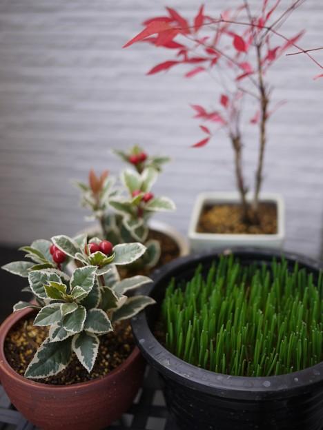 写真: 本日の園芸その4-ヤブコウジとナンテンの植え替え