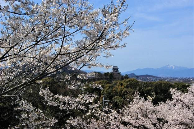 犬山城と桜