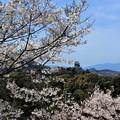 写真: 犬山城と桜