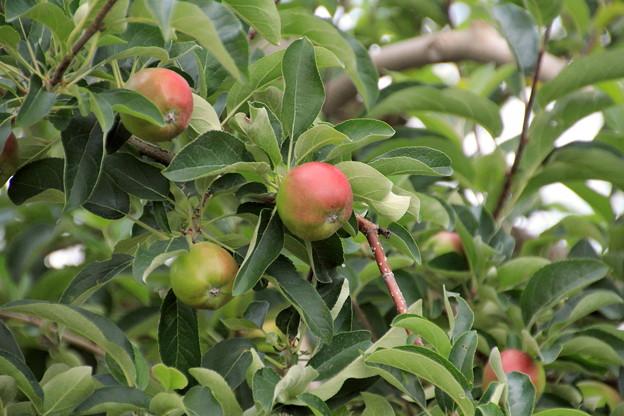 リンゴの実01-12.07.10