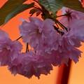 夜桜桜の通り抜け