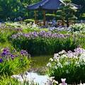 写真: 満開の花菖蒲園