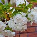 雨宿り八重桜