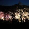 清雲寺枝垂れ桜のライトアップ3