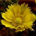 撫子の福寿草開花