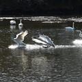 着水の小白鳥