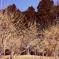 写真: 宝登山の蝋梅風景3