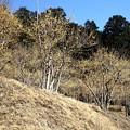 写真: 宝登山の蝋梅風景4