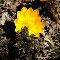 写真: 宝登山の福寿草1