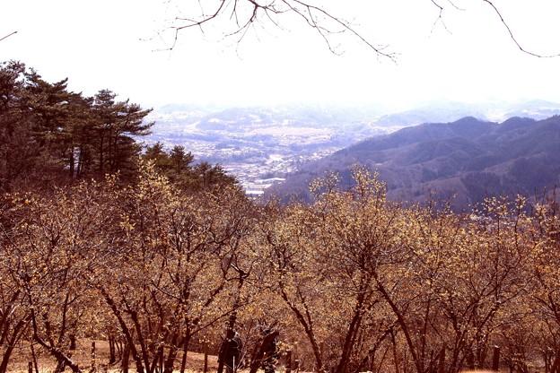 宝登山の蝋梅風景8