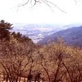 52宝登山の蝋梅風景2