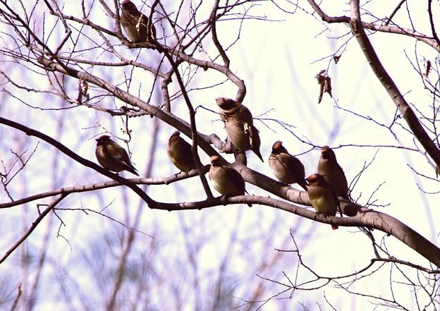 黄連雀と緋連雀の群