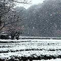 517お茶畑への降雪風景