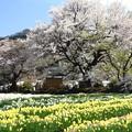 神代桜の境内風景1